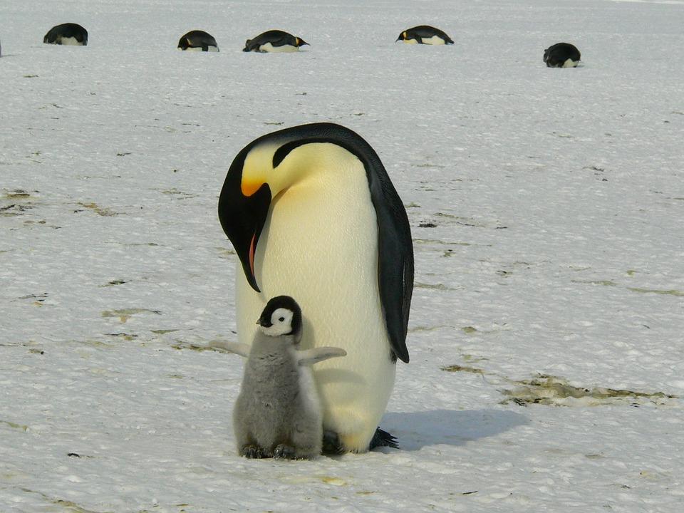 Aptenodytes forsteri, emperor penguin
